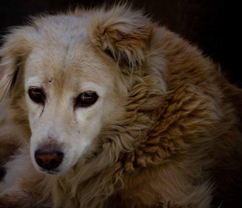 babulal-portrait of a dog